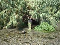 Foce del fiume Alcantara la vegetazione lussureggiante della foce del fiume Alcantara  - Fiumefreddo di sicilia (2659 clic)