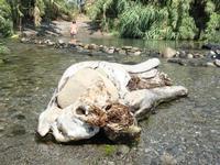 foce del fiume Alcantara un tronco con un masso incorporato alla foce del fiume Alcantara  - Fiumefreddo di sicilia (6488 clic)