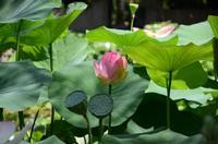 Fior di loto La foto è stata scattata all'Orto Botanico di Palermo.  PALERMO Maria Calvaruso