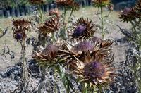 Fiori di cardi secchi La foto è stata scattata all'Orto Botanico di Palermo.  PALERMO Maria Calvarus