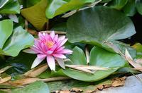 Ninfea La foto è stata scattata all'Orto Botanico di Palermo nella grande vasca PALERMO Maria Calvar