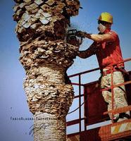 Pulitura delle palme Un operaio a mondello procede alla pulitura periodica delle palme  - Mondello (3637 clic)
