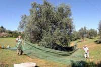 Raccolta delle olive  - Gela (5029 clic)