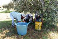 Raccolta delle olive  - Gela (4479 clic)