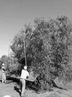 Raccolta delle olive  - Gela (4100 clic)