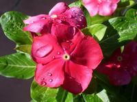 Fiore  Fiore con rugiada.                                                                                                                                          Foto di peppino Carollo.  - Castelbuono (3733 clic)