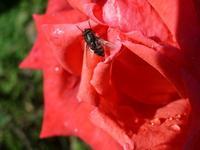 Fiori. Mosca su rosa.  - Castelbuono (3936 clic)