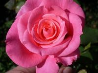 Fiori. Rosa   - Castelbuono (3797 clic)
