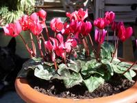 Fiori. vaso di fiori.  - Castelbuono (3975 clic)