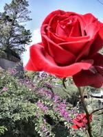 Fiori. Rosa gigante.       foto peppino carollo  - Castelbuono (3864 clic)