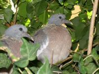 coppia piccioni ancora nel nido (528 clic)