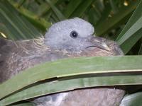 Piccione ancora nel nido (495 clic)
