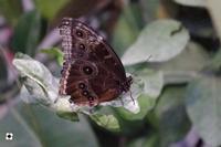 farfalla  MODICA Enzo Belluardo