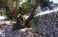 Cianciò 2013, all'ombra del carrubo   - Pozzallo (2268 clic)