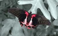 la farfalla e la foglia   - Modica (1600 clic)
