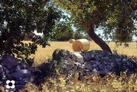 Cianciò, carrubo e muro a secco   - Pozzallo (1962 clic)