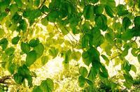 foglie in trasparenza   - Eloro (4423 clic)