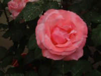 corolla di rosa  - Carini (3940 clic)