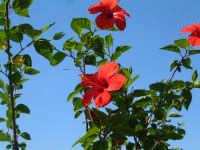 ibisco nel cielo  - Brucoli (3960 clic)