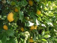 limoni frutti preziosi  - Mangano (5260 clic)