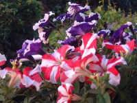 allegria fiorita  - Mangano (3477 clic)