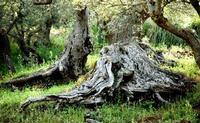 ulivi secolari   - Scillato (1729 clic)