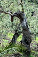 ulivi secolari   - Scillato (1828 clic)
