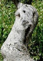 ulivi secolari   - Scillato (1759 clic)