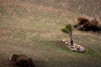 albero solitario   - Petralia sottana (607 clic)