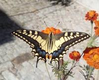 le alidella libertà   - Petralia sottana (247 clic)