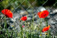 fioritura   - Petralia sottana (544 clic)