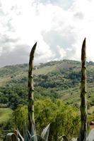agave   - Castellana sicula (2312 clic)