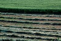 campi agrari   - Petralia sottana (636 clic)