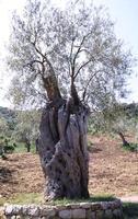 ulivo secolare   - Pollina (2593 clic)