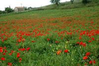 paesaggi agrari   - Petralia sottana (1605 clic)