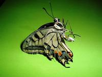 farfalla   - Petralia sottana (2400 clic)