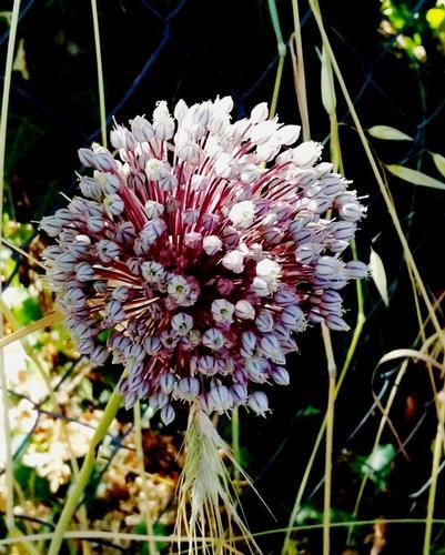 fioritura - PETRALIA SOTTANA - inserita il 20-Jun-16