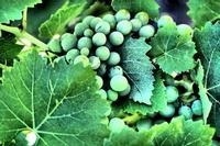 Sara' buon vino.   - Randazzo (4063 clic)