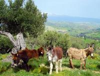 li sciccareddi - Troina (EN) (1288 clic)