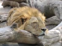 IL RIPOSO DEL RE - Zoo Safari di Paternò  - Paternò (19450 clic)