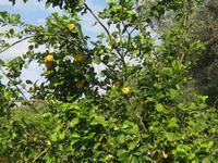 Limoni   - Acquedolci (2829 clic)