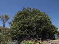 Castagno dei cento cavalli Il castagno dei cento cavalli è un enorme albero, la cui storia è plurimillenaria. prende il nome da una leggenda storica siciliana.  - Sant'alfio (4865 clic)