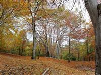 A trofa do camperi Maestoso albero di faggio presente nel parco dell'etna, il suo nome è legato ad una leggenda.  - Milo (1246 clic)