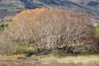 Big Betulla Maestoso albero di betulla tipico del fianco nord-est dell'etna, si trova nello spiazzale del rifugio Citelli a quota 1700 metri slm.   - Sant'alfio (697 clic)