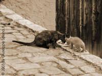 Gatti selvatici di Alimena Filippo e Fabio.  - Alimena (6629 clic)