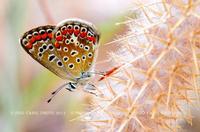 Le farfalle del lago Pozzillo. Questa piccola farfalla non più grande di 2cm l'ho fotografata tra il sottobosco degli eucalipti.  - Lago di pozzillo (2748 clic)