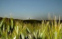 Tra i campi di grano.   - Regalbuto (2538 clic)