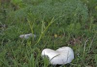 Fungo Basalisco È un fungo primaverile ricercatissimo , che cresce solo nelle zone più alte delle Madonie, in simbiosi con la pianta di basilisco.  - Isnello (2139 clic)