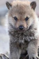 cucciolo di canelupo cecoslovacco  l'ultimo lupo in Sicilia e' stato ucciso nel 1937  - Madonie (3833 clic)