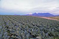Broccoletti sullo sfondo le madonie innevate   - Cerda (3094 clic)